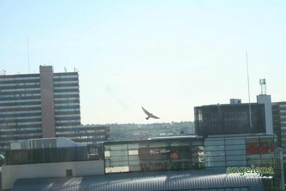 Peregrine falcon in Nottingham