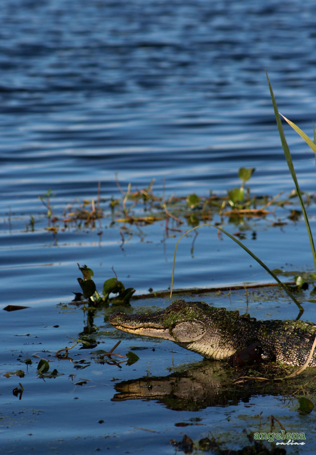 Aligator in Florida