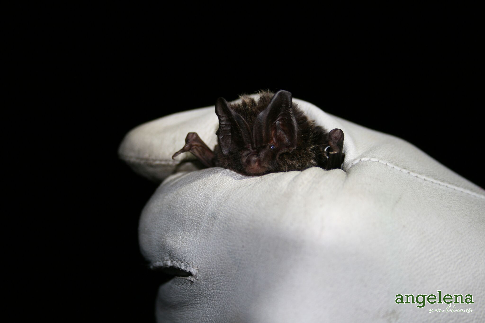 Barbastelle bat (England)