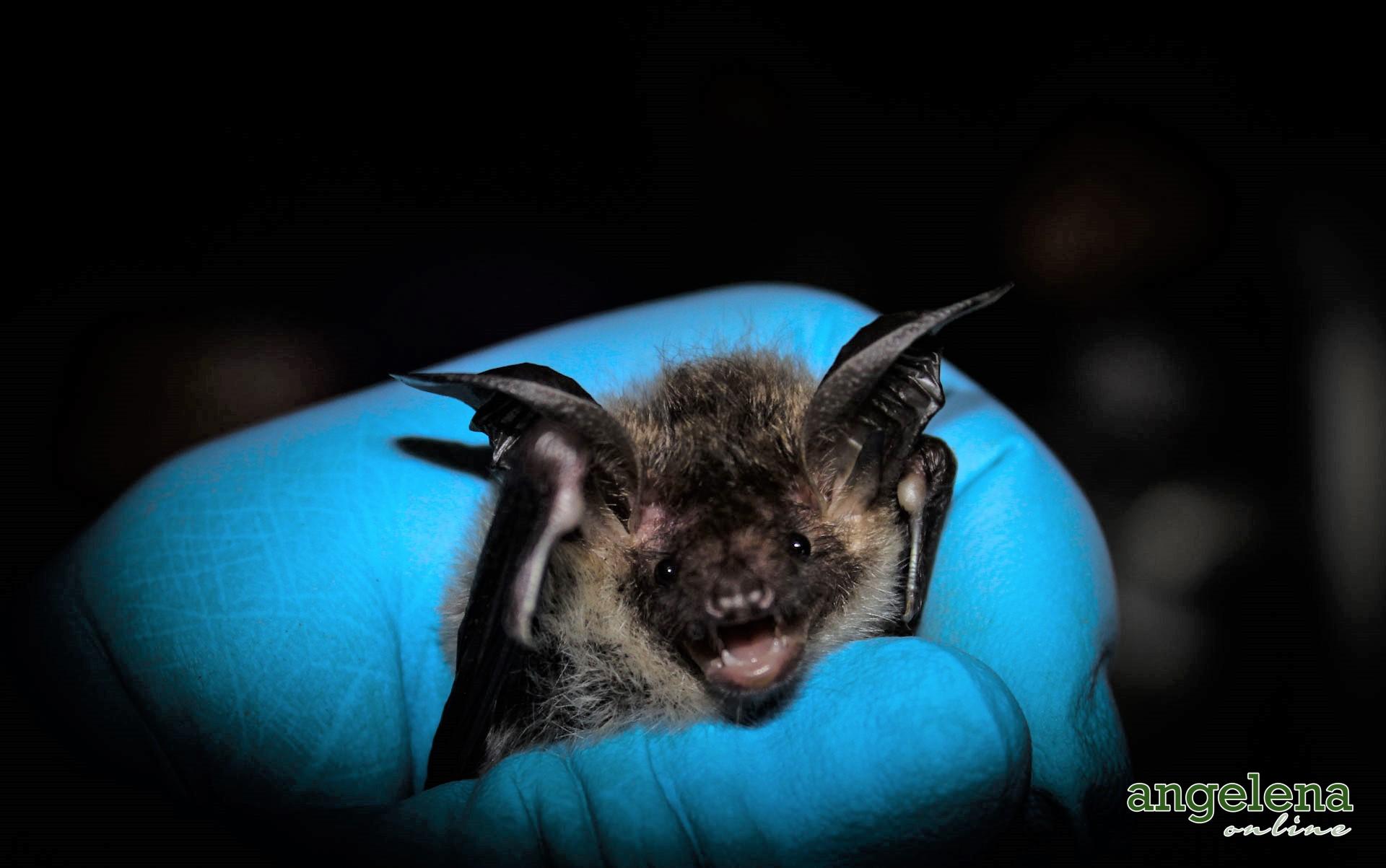 Bechsteins bat (England)