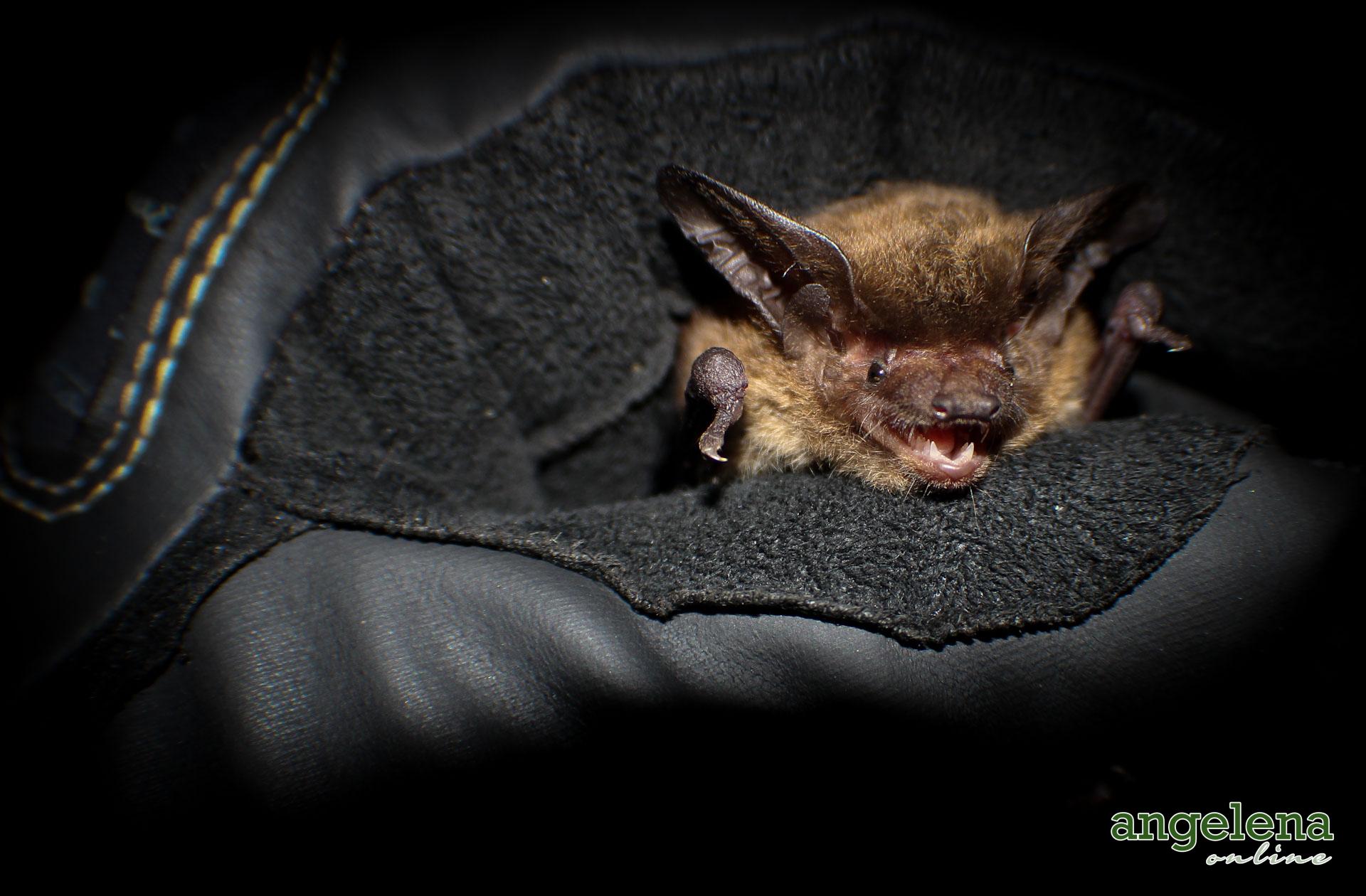 Botswanna Long-eared bat (Malawi)