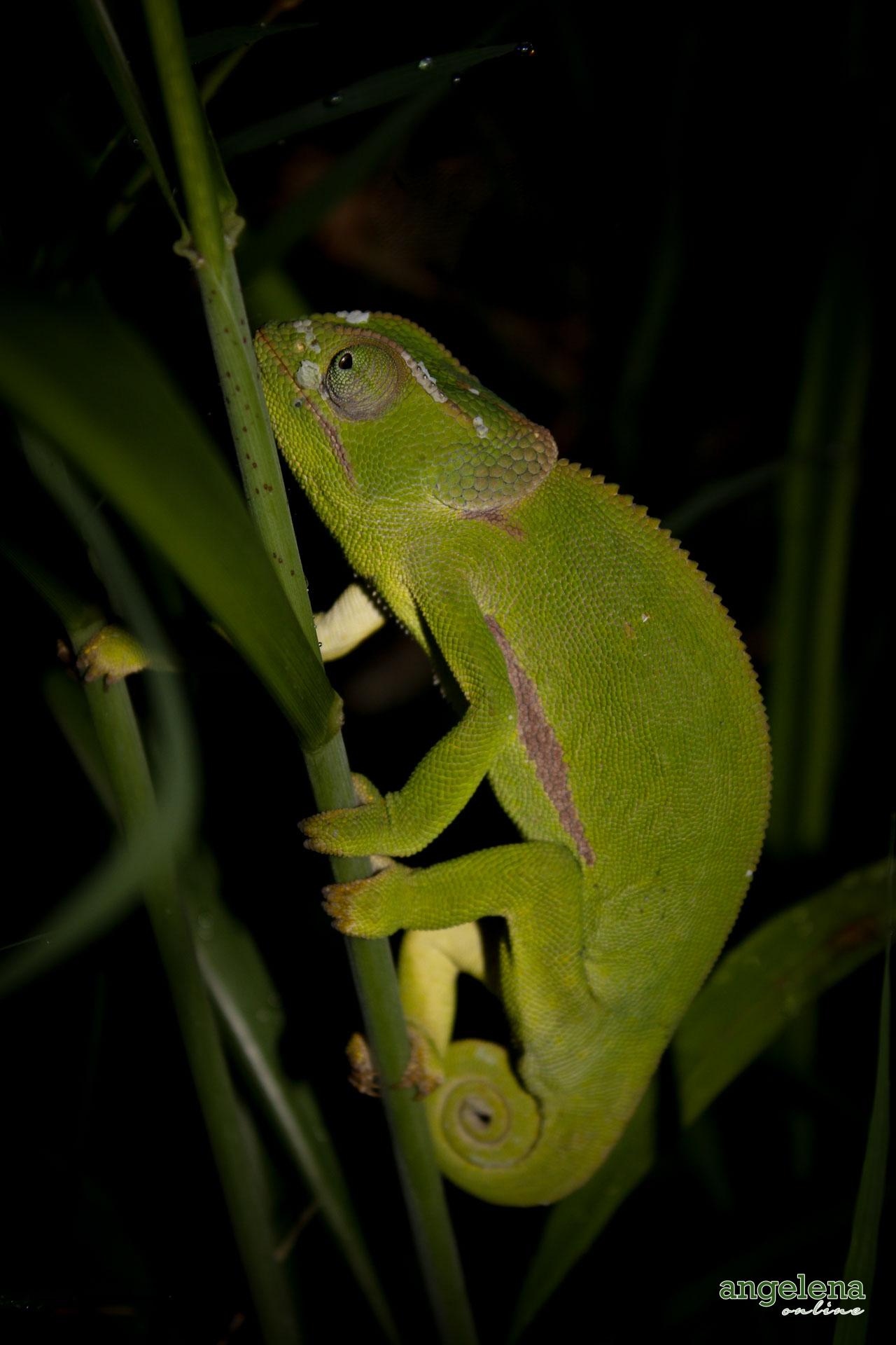 Chameleon Malawi