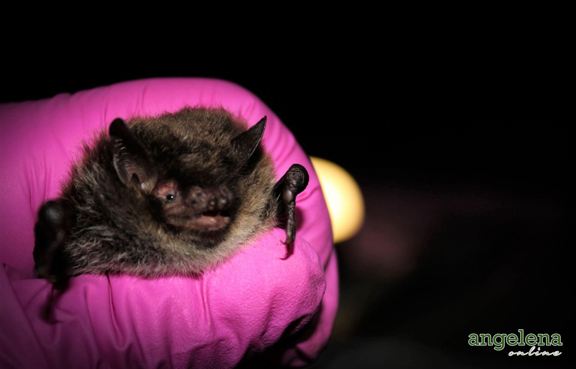 Daubentons bat (England)