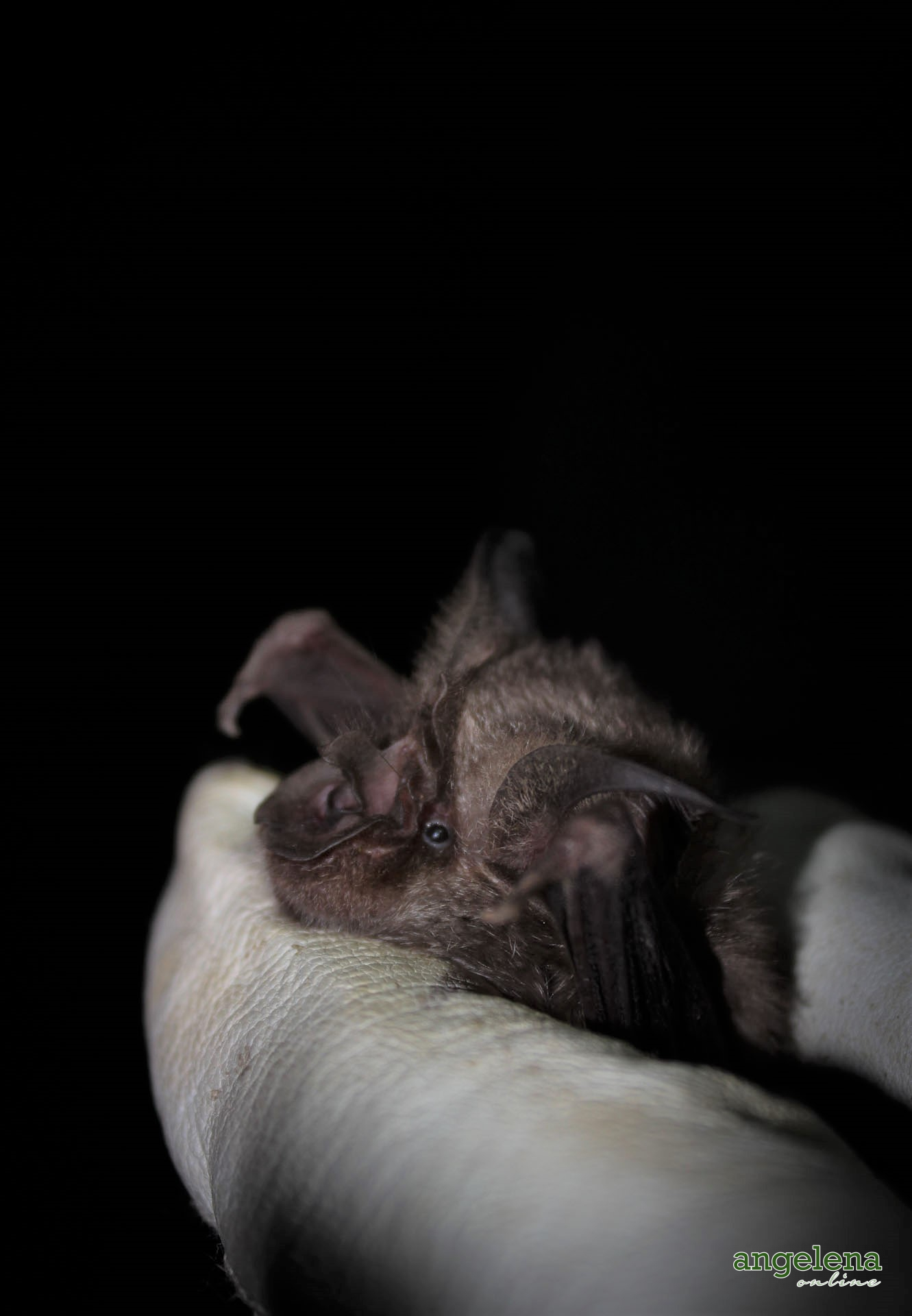 Horseshoe bat side (Malawi)