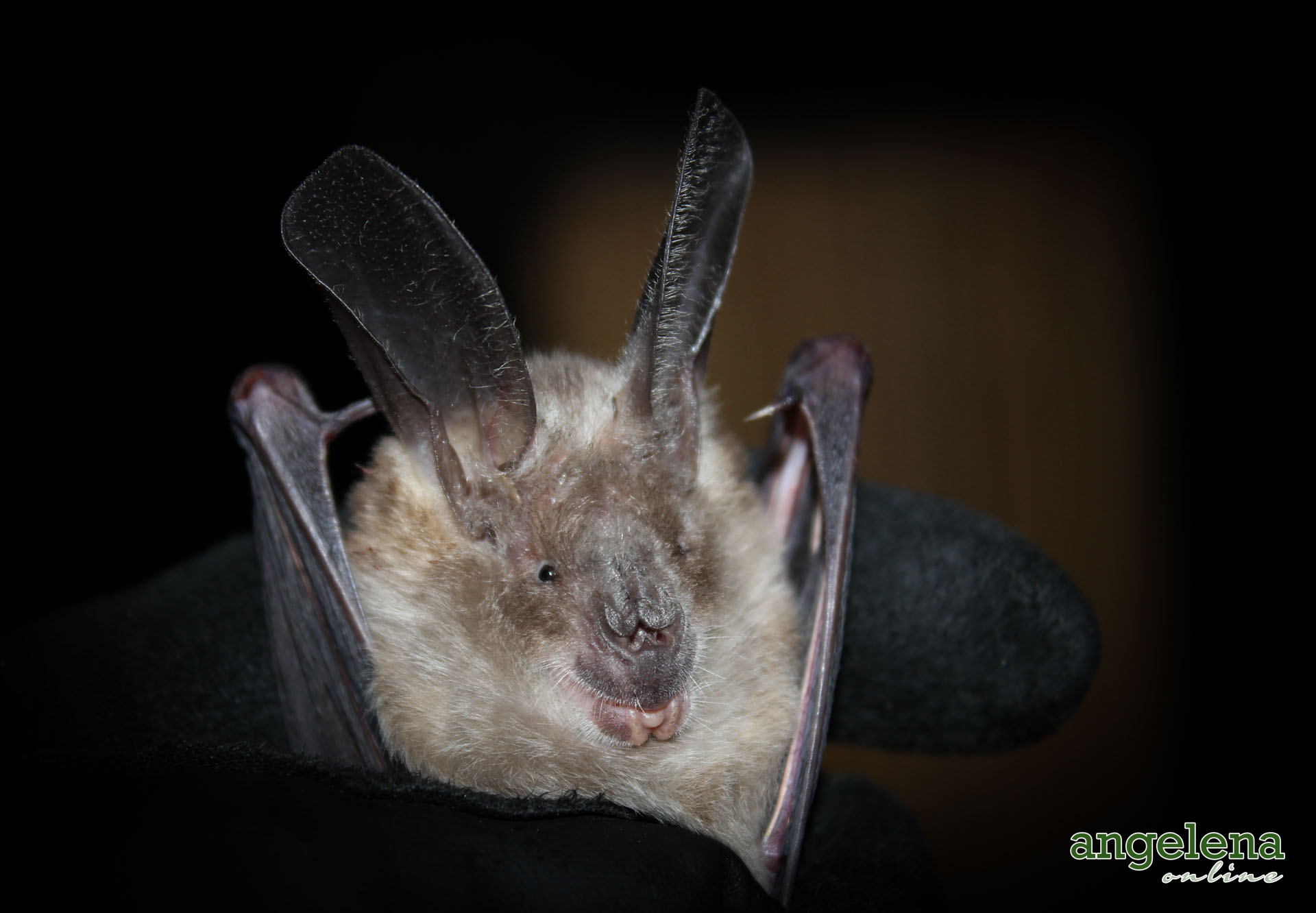 Large-eared Slit-faced bat (Malawi)