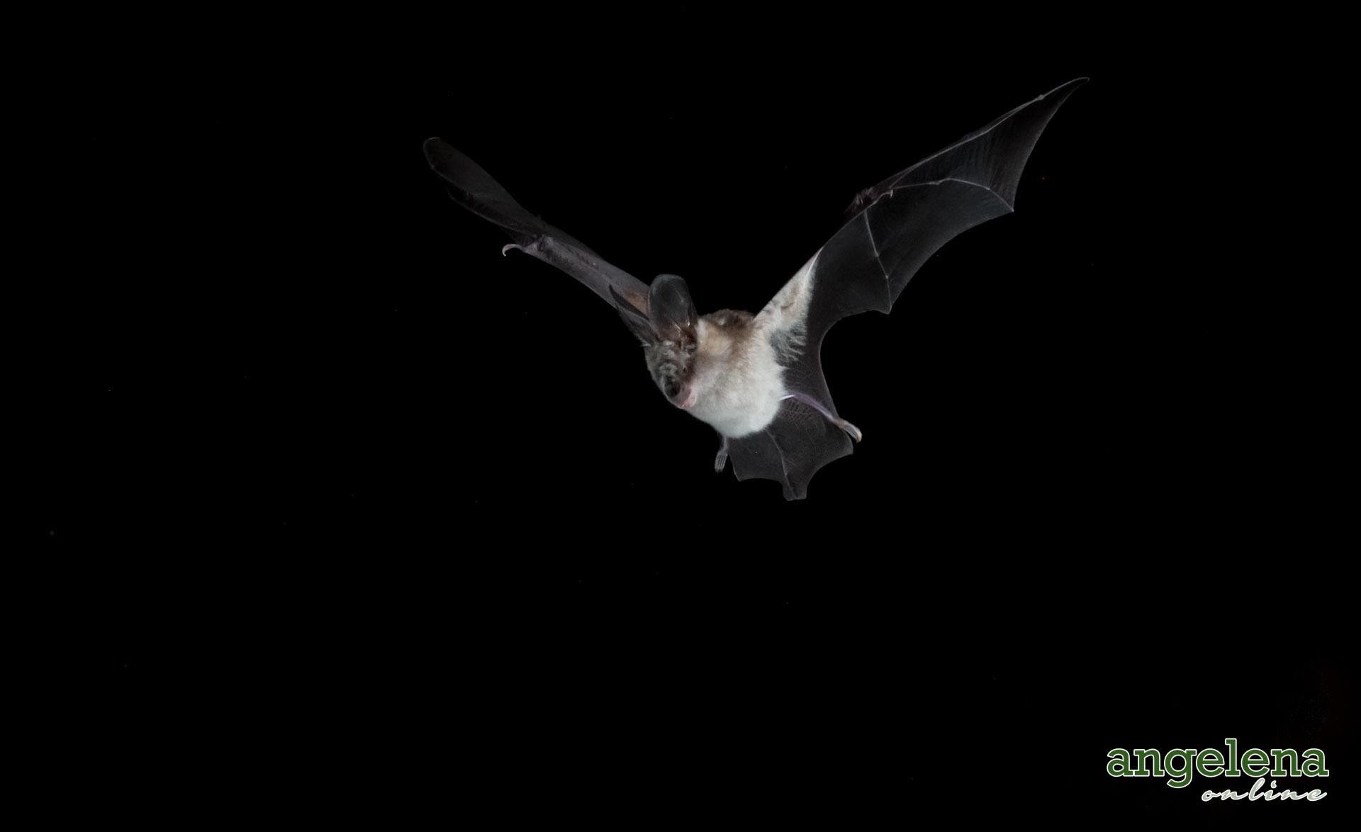 Large-eared Slit-faced bat in Flight (Malawi)