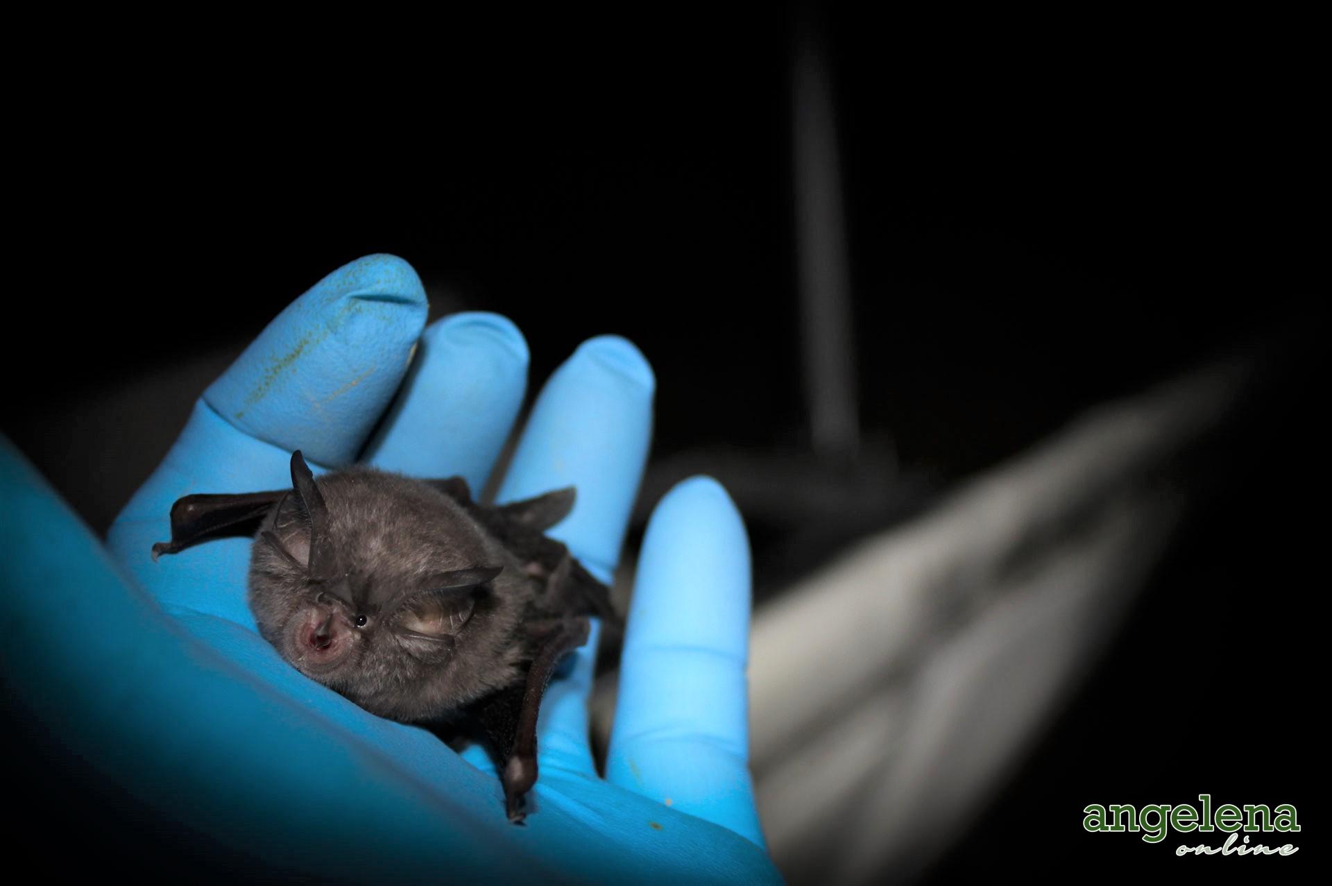Lesser Horseshoe bat (England)