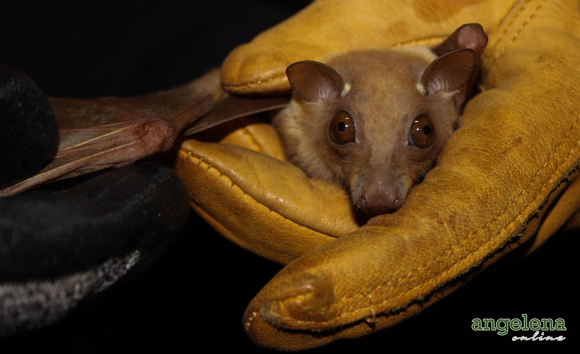 Little Epauletted Fruit bat (Malawi)