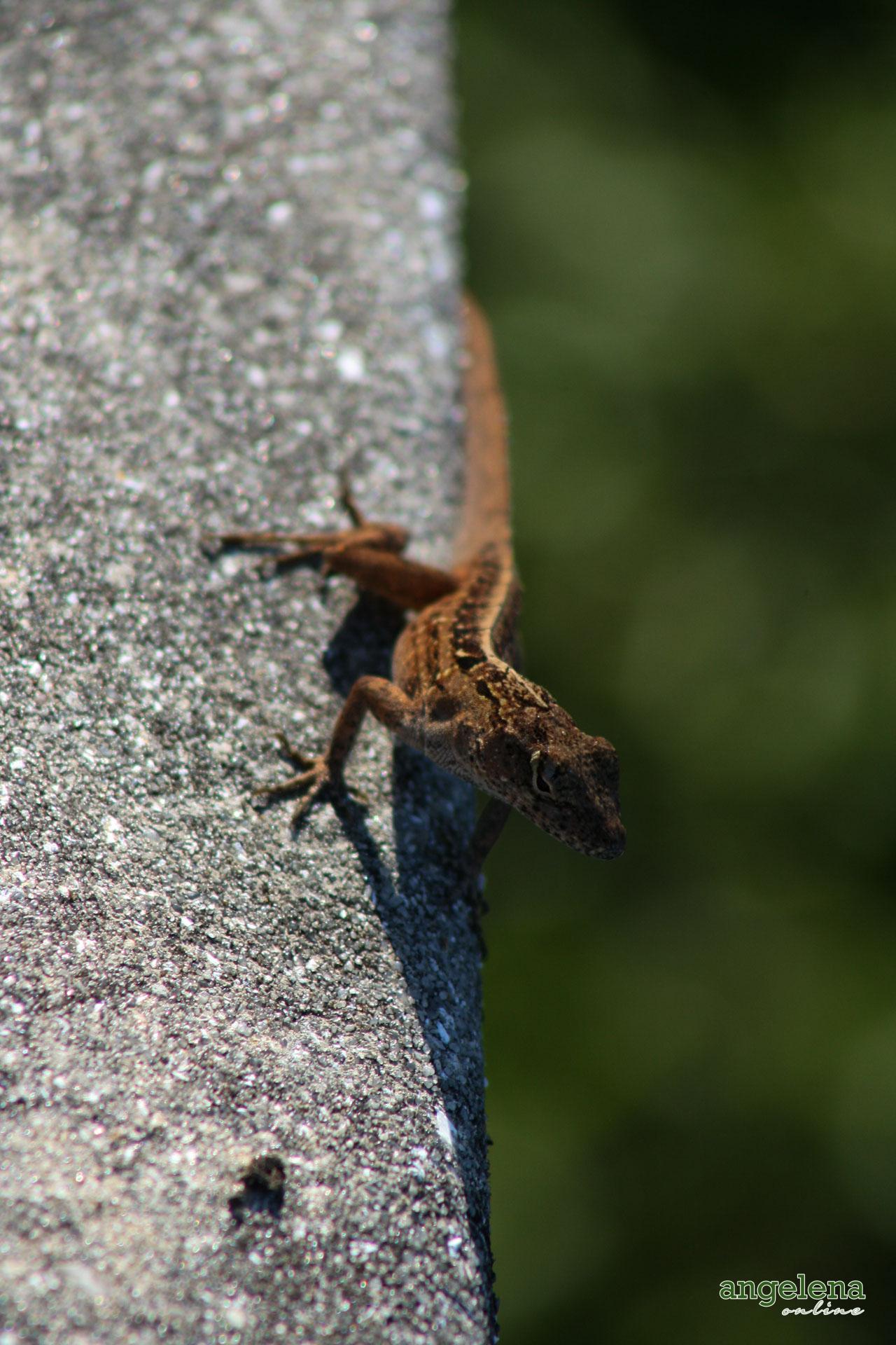 Lizard San Diego
