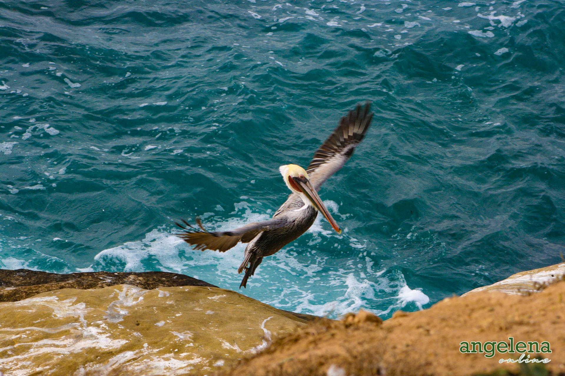 Pelican San Diego