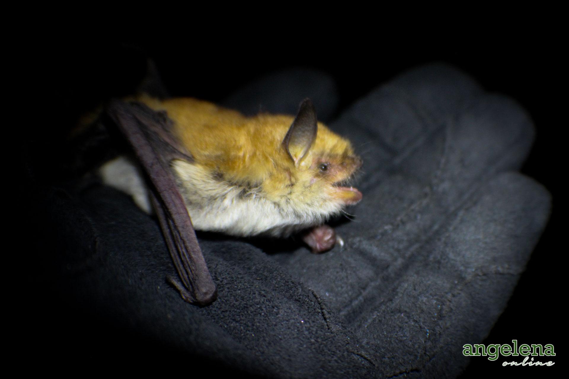 Rufous Mouse-eared bat (Malawi)