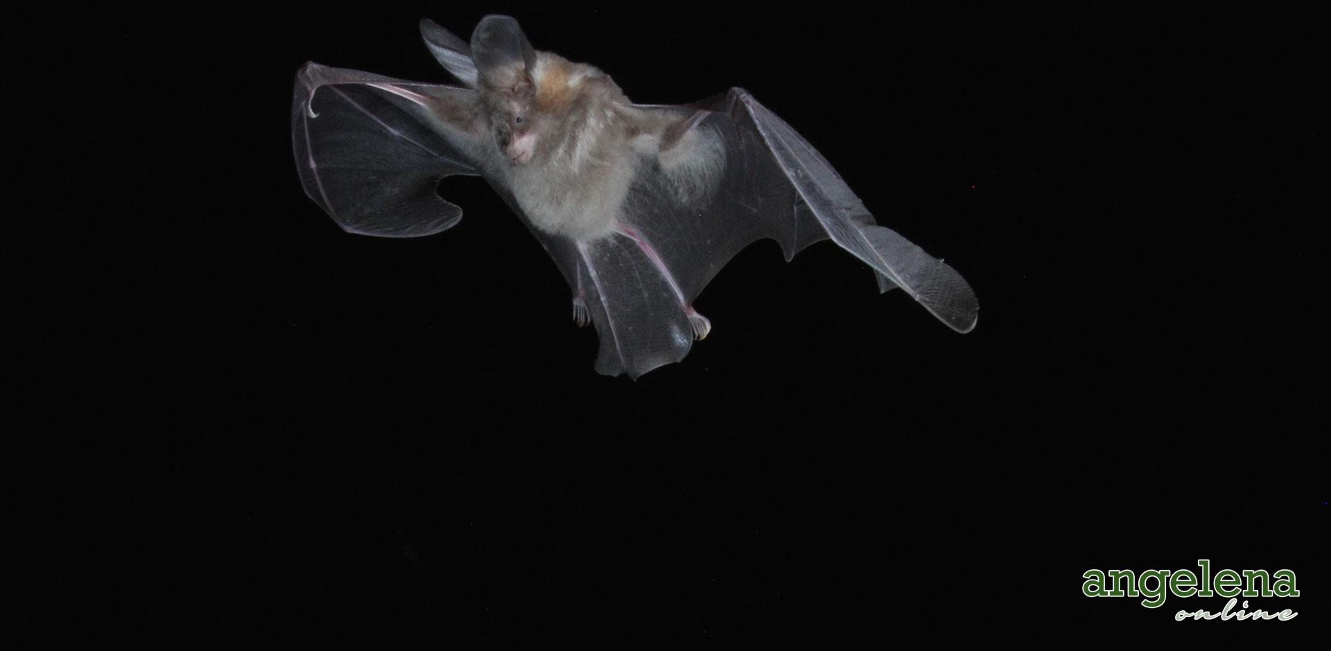 Slit-face bat in Flight (Malawi)