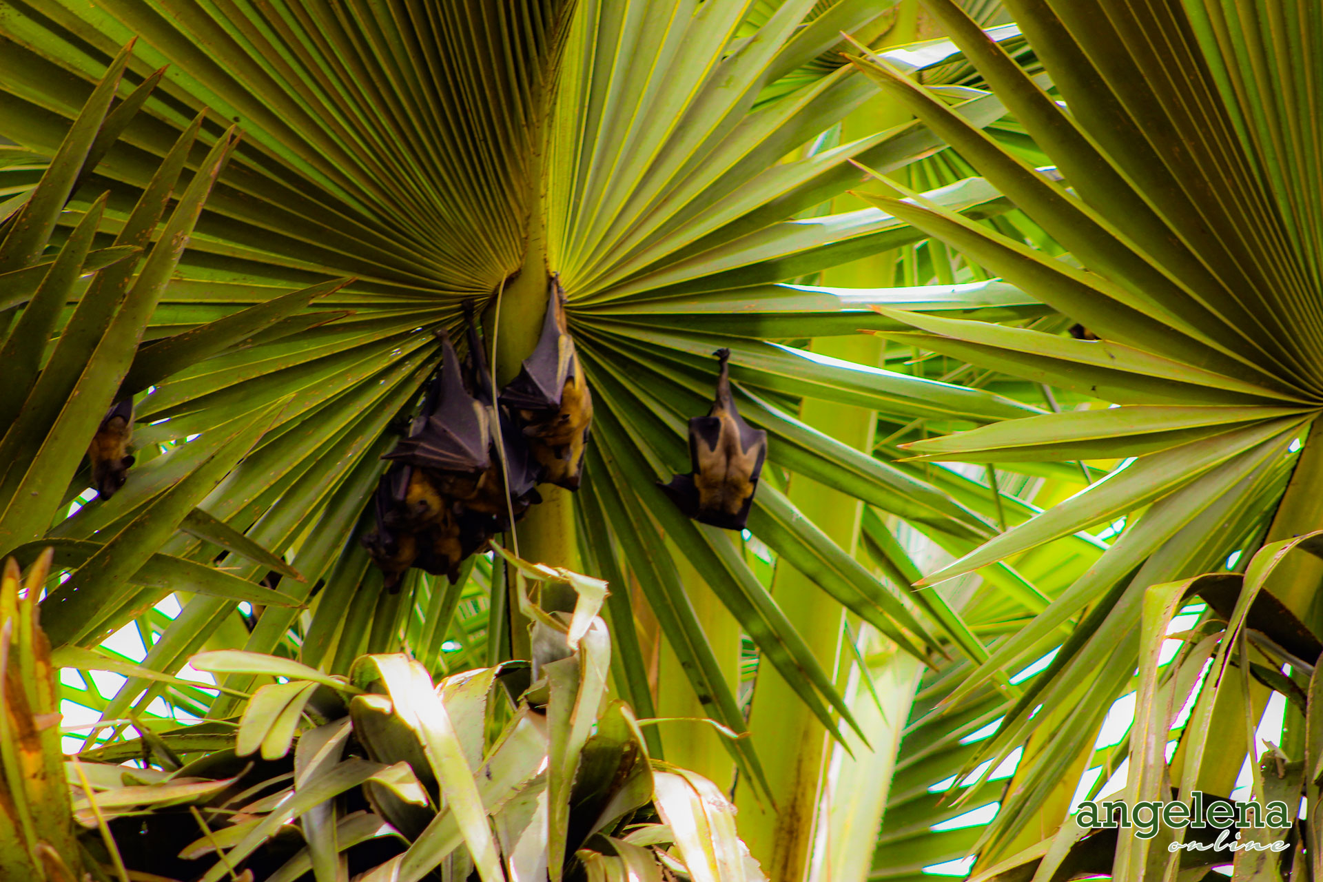 Straw Colour Fruit bats Hanging Out (Malawi)