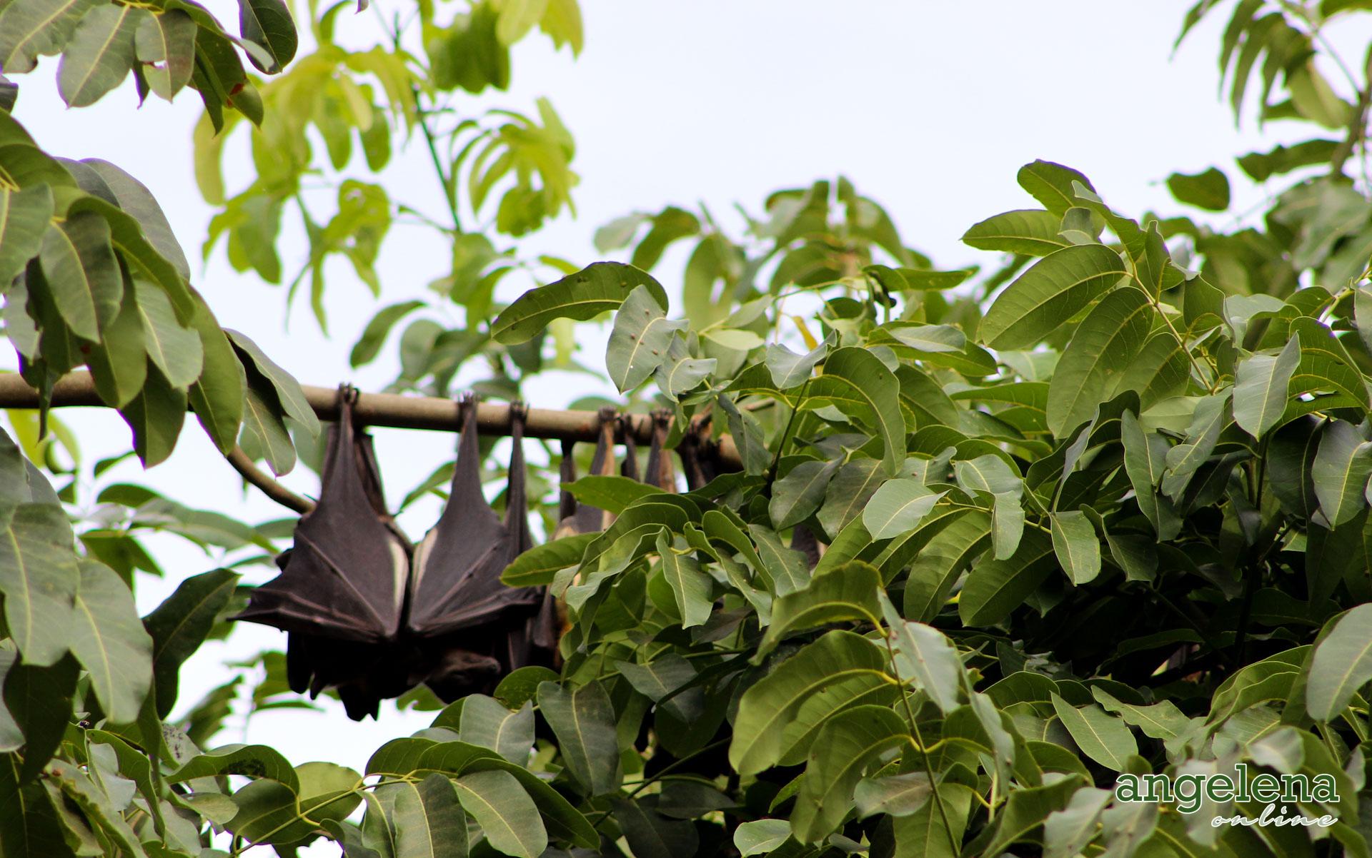 Straw Coloured Fruit bats (Malawi)
