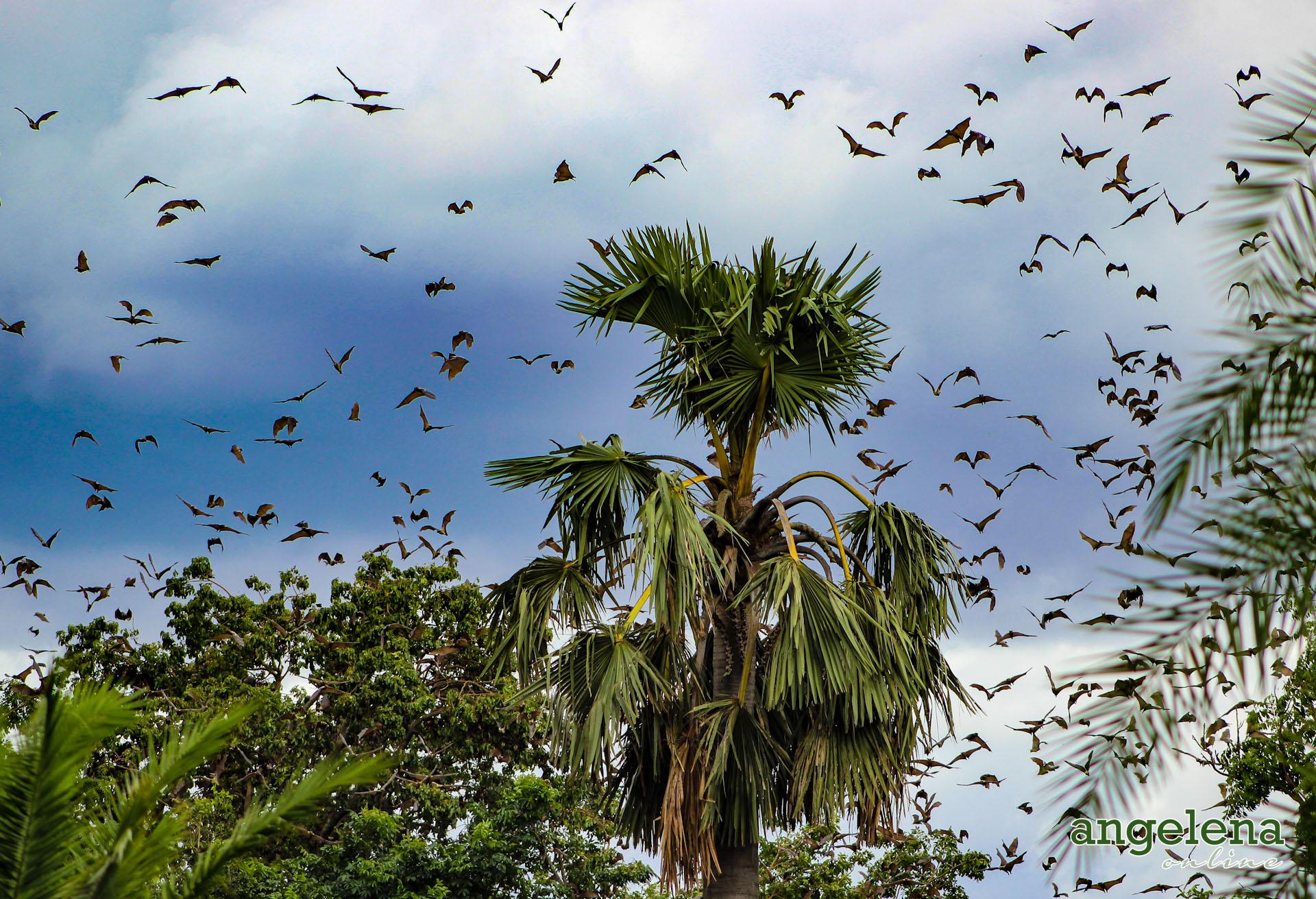 Straw Coloured Fruit bats in Flight 2 (Malawi)