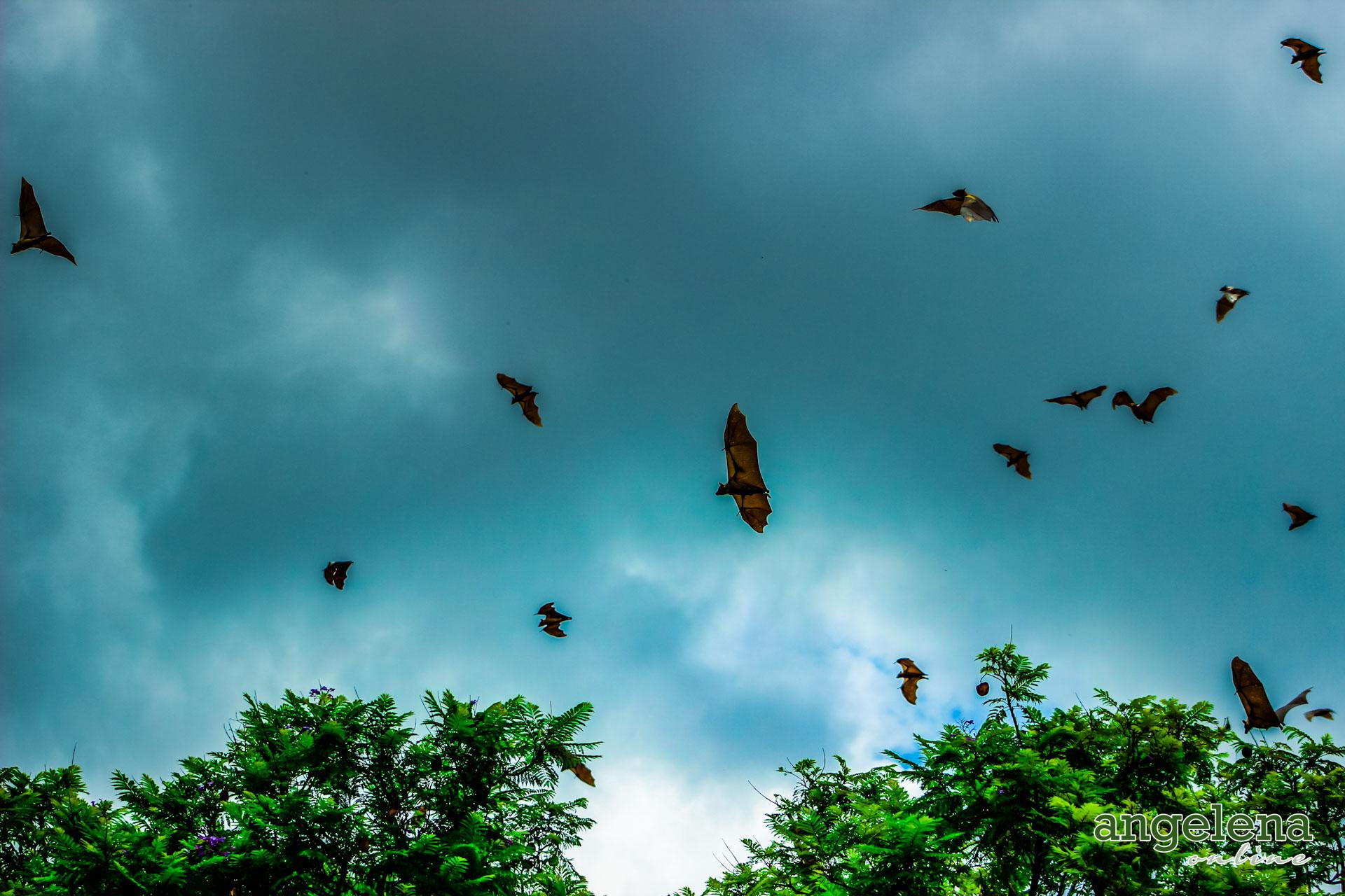 Straw Coloured Fruit bats in Flight (Malawi)