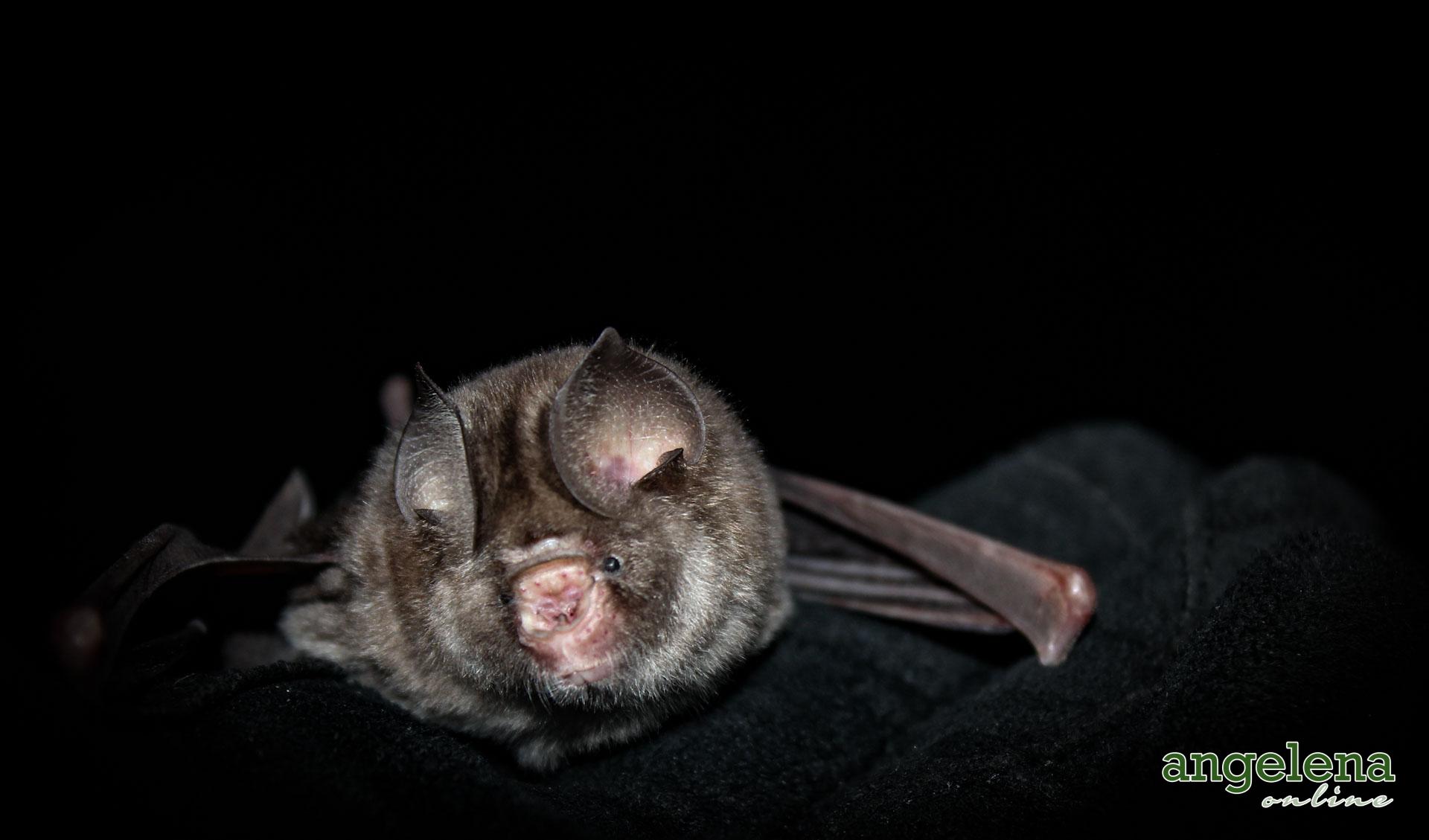 Sundevall's roundleaf bat 2(Malawi)