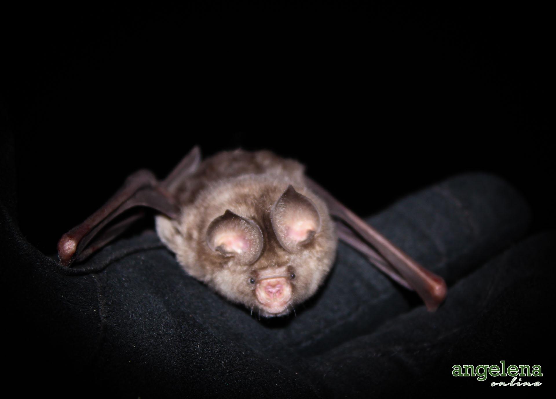 Sundevall's roundleaf bat (Malawi)