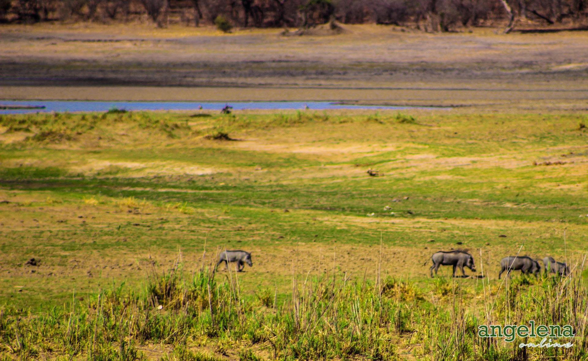 Warthogs Vwaza