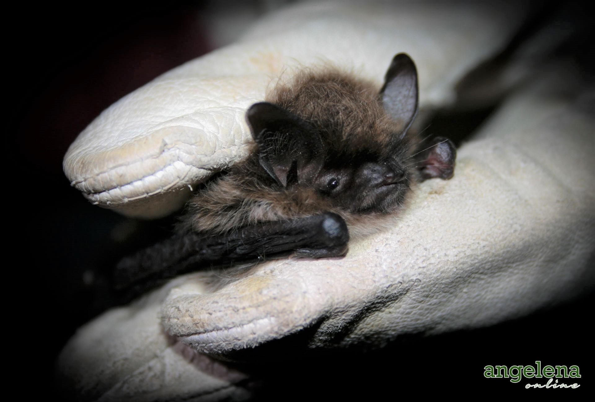 Whiskered bat (England)