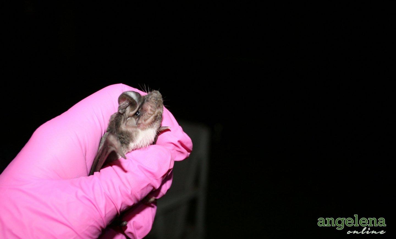 White-bellied-bat