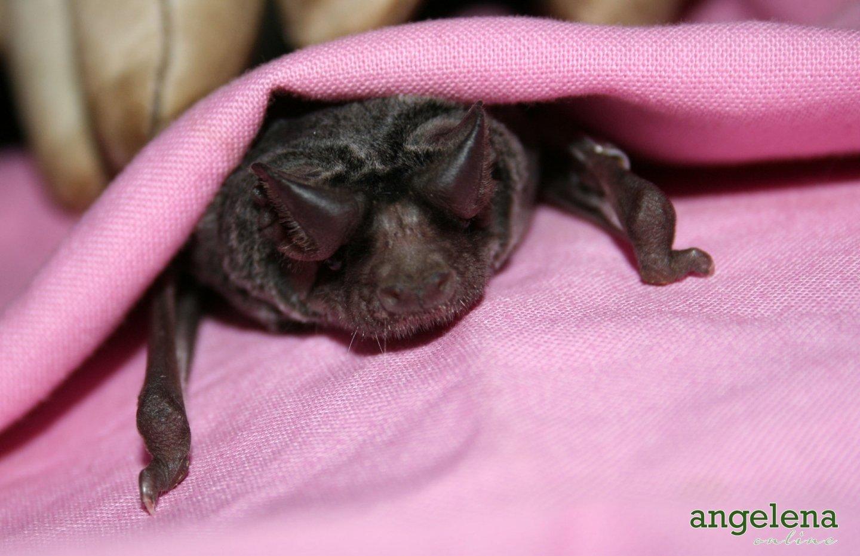 White-bellied-bat2