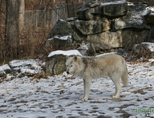 Wolves in Upstate New York
