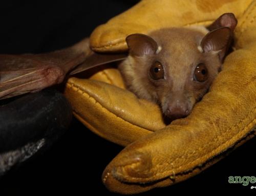 Bats Blamed Again