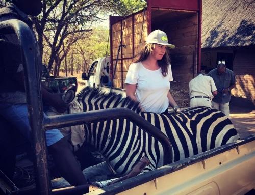 Zebra Translocation, then Malaria…